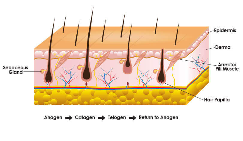 Stages Of Hair Follicle Growth